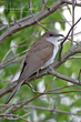 Black-billed Cuckoo (04).jpg