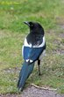 Black-billed Magpie (01).jpg