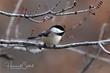 Black-capped Chickadee (03).jpg