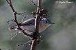 Black-capped Gnatcatcher (female) (01).jpg