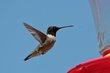 Black-chinned Hummingbird (01).jpg