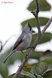 Black-crested Titmouse (01).jpg