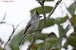 Black-crested Titmouse (02).jpg
