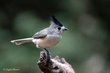 Black-crested Titmouse (03).jpg