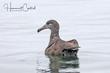 Black-footed Albatross (01).jpg