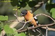 Black-headed Grosbeak (01).jpg