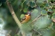 Black-headed Grosbeak (02).jpg