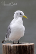 Black-legged Kittiwake (01).jpg