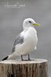 Black-legged Kittiwake (02).jpg
