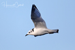 Black-legged Kittiwake (immature) (03).jpg