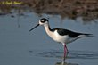 Black-necked Stilt (02).jpg