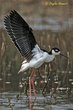 Black-necked Stilt (03).jpg