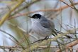 Black-tailed Gnatcatcher (01).jpg
