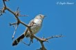 Black-tailed Gnatcatcher (female) (01).jpg