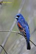 Blue Grosbeak (01).jpg
