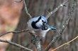 Blue Jay (01).jpg
