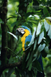 Blue-and-yellow Macaw (01).jpg