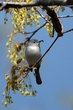 Blue-gray Gnatcatcher (eastern) (01).jpg