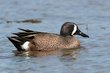Blue-winged Teal (01).jpg