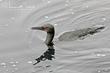 Brandts Cormorant (nonbreeding plumage) (01).jpg