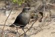 Brewers Blackbird (female) (a).jpg