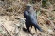 Brewers Blackbird (female) (b).jpg