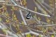 Bridled Titmouse (01).jpg