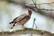 Broad-winged Hawk (01).jpg