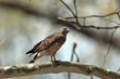 Broad-winged Hawk (04).jpg