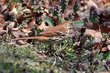 Brown Thrasher (02).jpg