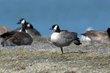Cackling Goose (Richardsons) (02).jpg