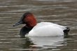 Canvasback (01).jpg