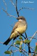 Cassins Kingbird (02).jpg