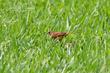 Chestnut Munia (female) (01).jpg