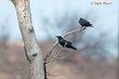 Chihuahuan Raven (01).jpg