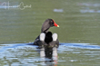 Common Gallinule (breeding plumage) (04).jpg