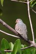 Common Ground-Dove (01).jpg