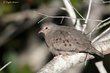 Common Ground-Dove (02).jpg