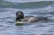 Common Loon (04).jpg