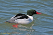 Common Merganser (01).jpg