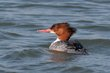 Common Merganser (female) (01).jpg