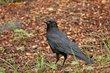 Common Raven (01).jpg