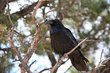 Common Raven (02).jpg