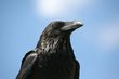 Common Raven (03).jpg