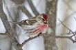 Common Redpoll (03).jpg