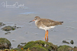 Common Redshank (01).jpg