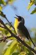 Common Yellowthroat (02).jpg
