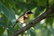 Common Yellowthroat (03).jpg
