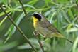 Common Yellowthroat (04).jpg