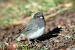 Dark-eyed Junco (female slate-colored) (01).jpg